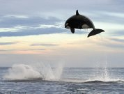 killerwhaleflying.jpg